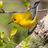 Prothonotary warbler, Prothonotaria citrea