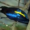 Golden Breasted Starling, Cosmopsarus regius