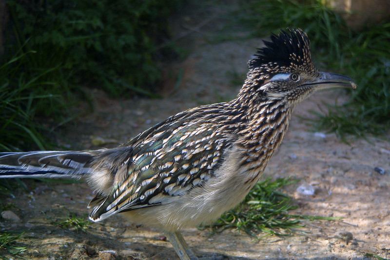 Greater Roadrunner, .Geococcyx californianus