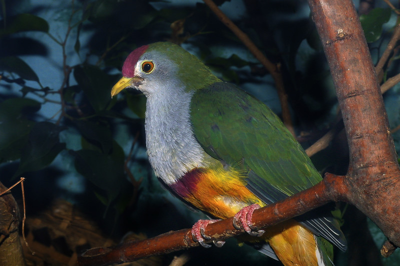 Beautiful fruit-dove, Ptilinopus pulchellus