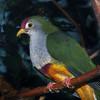 Beautiful fruit-dove, Ptilinopus pulchellus