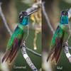 Fiery-throated hummingbird,  Panterpe insignis