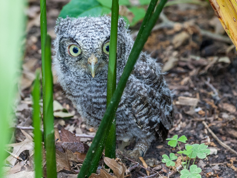 Eastern screech owl, Otus asio