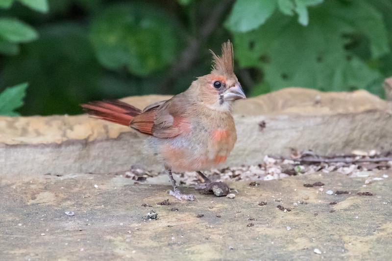 Northern Cardinal, Cardinalis cardinalis, juvenile male