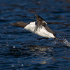 Common murre, Uria aalge.  Bridled morph