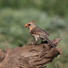 Northern Cardinal, Cardinalis cardinalis, female