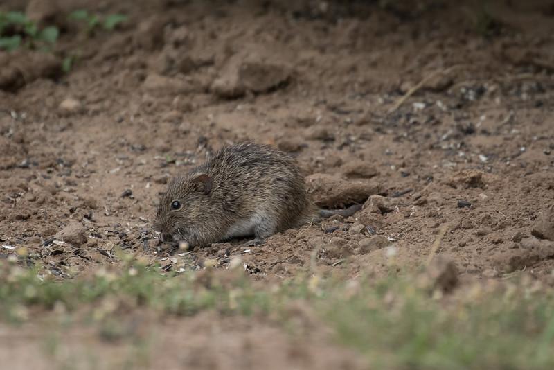 Cotton Rat, Sigmodon hispidus