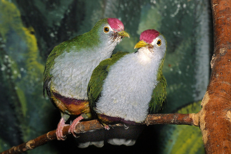 Beautiful Fruit-dove, Ptilinopus pulchellus Ptilinopus pulchellus
