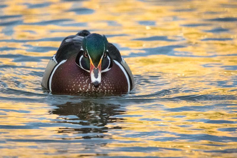 Wood duck, Aix sponsa