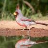 Pyrrhuloxia, Cardinalis sinuatus, male
