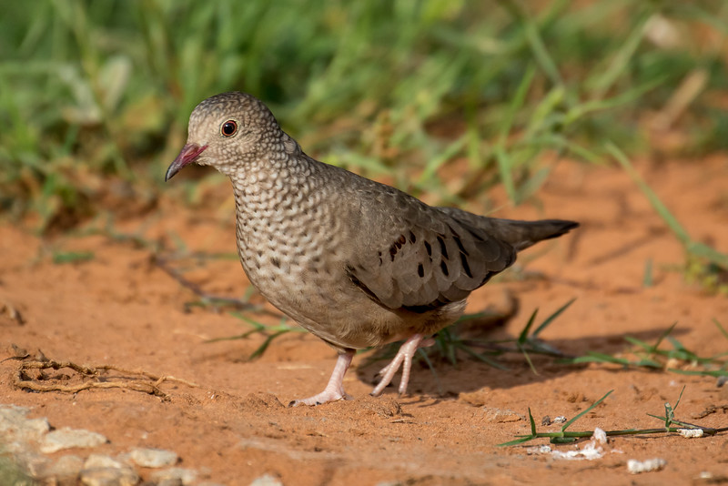 Common ground dove, Columbina passerina