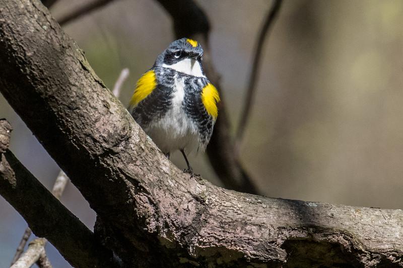 Yellow-rumped warbler, Dendroica coronata, female