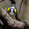 Yellow-rumped warbler, Dendroica coronata, female