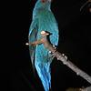 Fairy bluebird, Irena puella