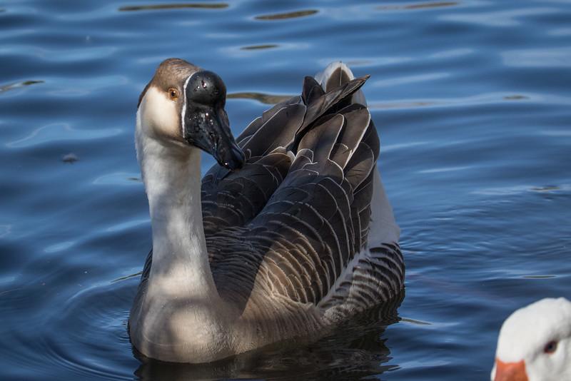 Domestic Swan Goose, Anser cygnoides