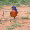Painted bunting, Passerina ciris, male
