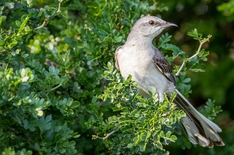 Northern mockingbird, Mimus polyglotos