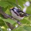 Chestnut-sided warbler, Dendroica pensylvanica