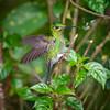 Green-crowned Brilliant, Heliodoxa jacula, female
