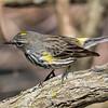 Yellow-rumped Warbler, Dendroica coronata