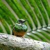 Rufus-tailed jacamar, Galbula ruficauda