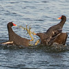 Common galinule, Moorhen, Gallinula chloropus