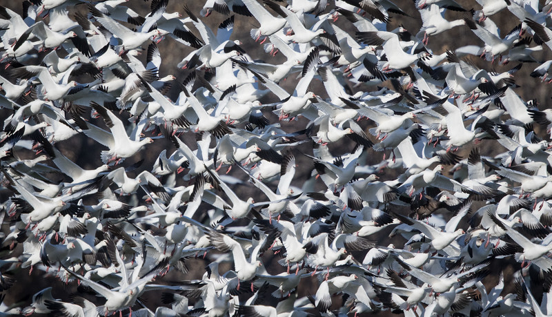 Snow goose, Chen caerulescens and Ross's goose, Chen rossii