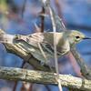 Pine warbler, Septophaga pinus