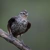 Red-winged blackbird, Agelaius phoeniceus, female