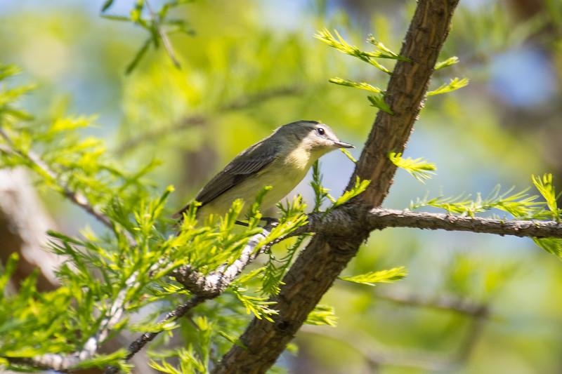 Tennessee warbler, Oreothlypis (Vermivora) peregrina