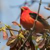 Scarlet tanager, Piranga olivacea