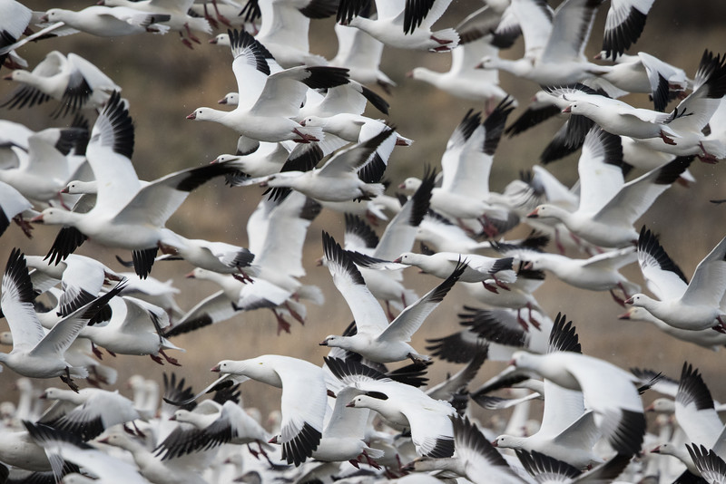Ross's goose, Chen rossii, and  Snow goose, Chen caerulescens