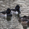 Ring-necked duck, Aythya collaris