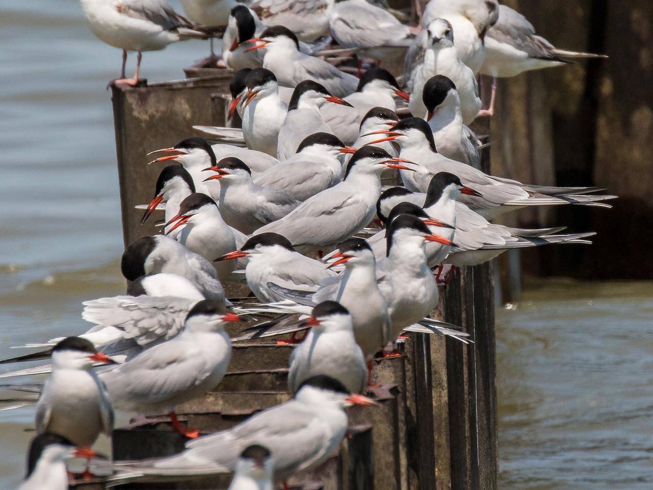 Forster's tern, Sterna forsteri