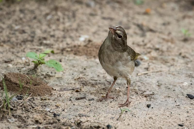 Olive Sparrow, Arremonops rufivirgatus