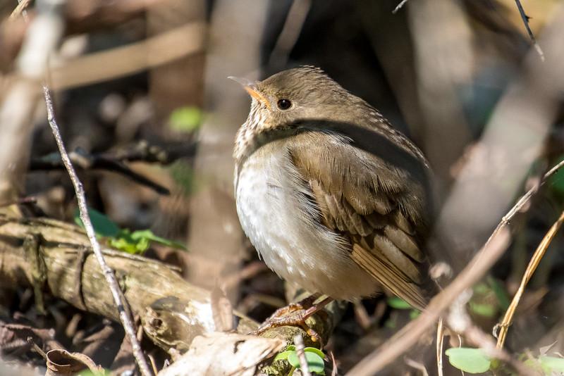 Gray-cheeked thrush, Catharus minimus
