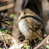 Gray-cheeked thrush, Catharus minimus