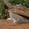 White-winged Dove, Zenaida asiatica
