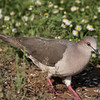 White-tipped dove, Leptotila verreauxi