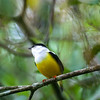 White-collared Manakin, Manacus candei