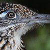 Greater roadrunner, Geococcyx californianus