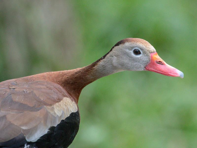 Black-bellied whistling duck, Dendrocygna autumnalis