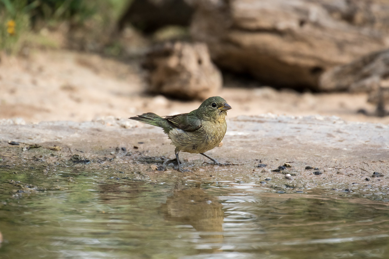 Painted Bunting, female