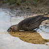 Brown-headed Cowbird, Molothrus ater, female