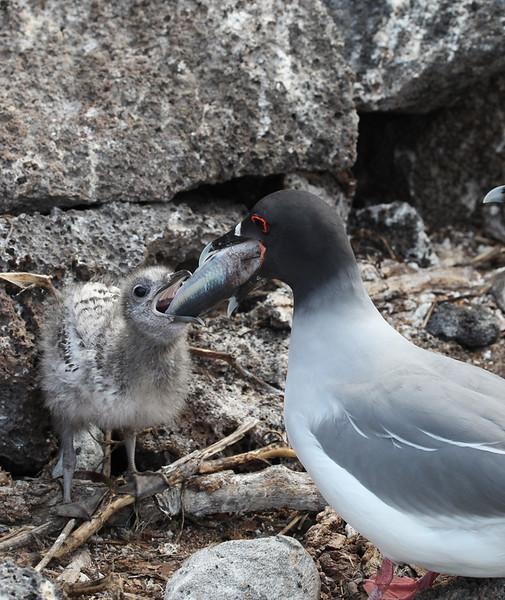 Swallow-tailed gull, Larus furcatus