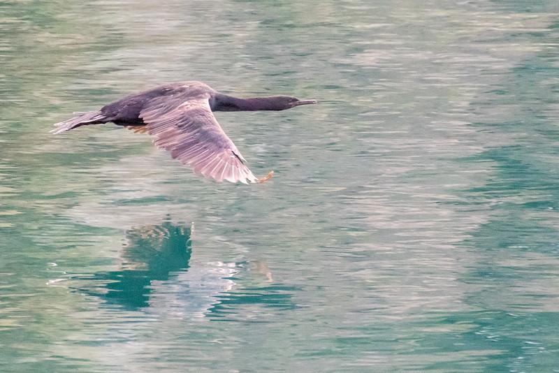Pelagic Cormorant, Phalacrocorax pelagicus