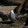 Heermann's gull,  Larus heermanni