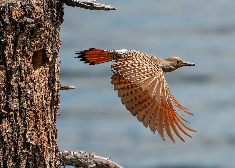 Northern flicker, Colaptes auratus cafer, Red shafted