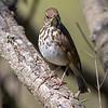 Hermit thrush, Catharus guttatus