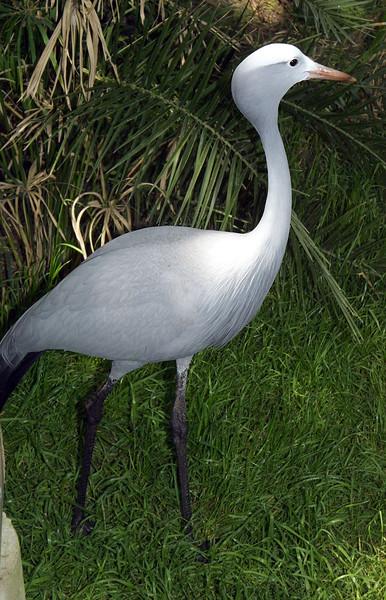 Blue Crane, Anthropoides paradisea